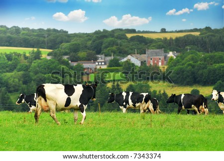 Cows grazing in a green pasture in rural Brittany, France. - stock photo