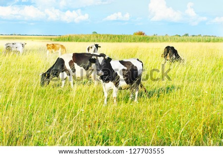 Cows grazing in a meadow. Summer sunny day - stock photo