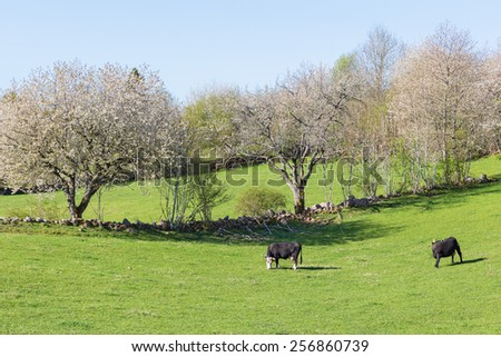 Cows grazing in a meadow with blossoming cherry trees - stock photo