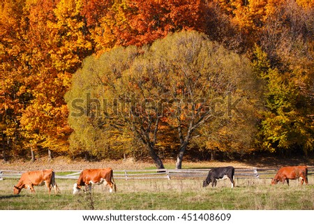 Cows Grazing in a pasture. A scenic autumn farmland landscape. Deciduous trees are turning a glorious color. - stock photo