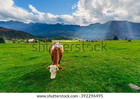 Cows grazing in Alps - stock photo
