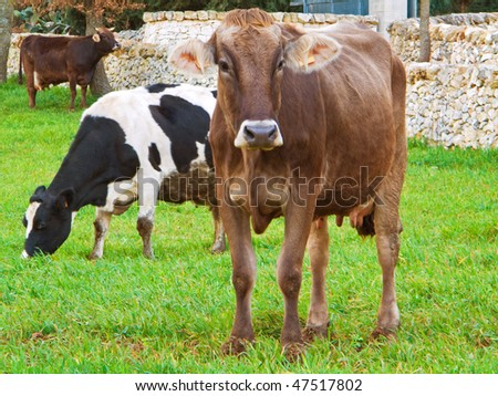Cows grazing in countryside.
