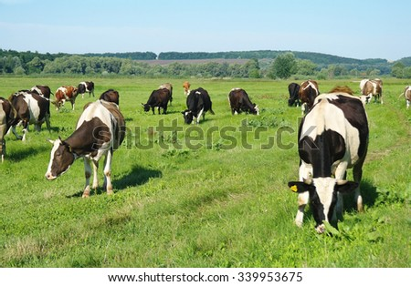 Cows grazing in fresh pastures - stock photo