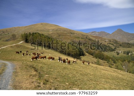 Cows grazing in mountain