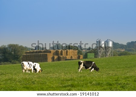 Cows grazing in Shropshire farmland in the UK