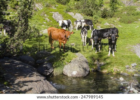 Cows grazing in the Alps - stock photo