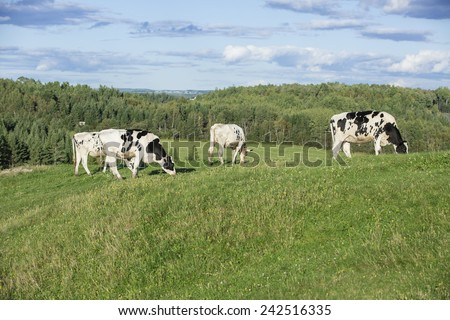 Cows grazing in the countryside on a beautiful summer afternoon - stock photo