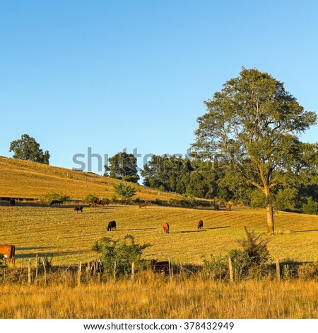 Cows grazing in the fields of southern Chile (Araucania Andean) - stock photo