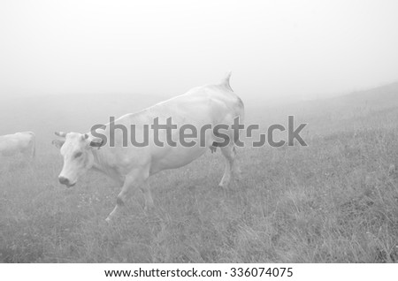 Cows grazing in the foggy . Soft nuances in a mountain pasture in the Alps, Italy. - stock photo