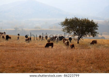 cows grazing in the grassland at autumn - stock photo