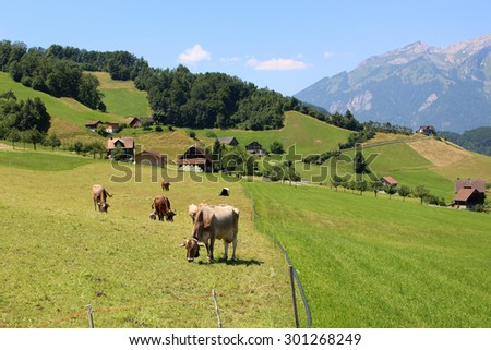 Cows grazing in the lush grass on the hillside of the Alps mountains in Switzerland on Mount stansenhorn near Lucerne - stock photo