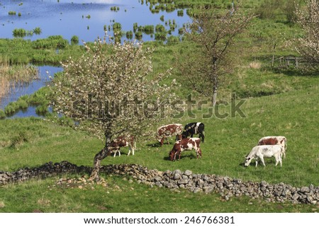 Cows grazing in the meadow by the lake - stock photo