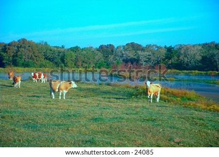 Cows grazing in the morning - stock photo