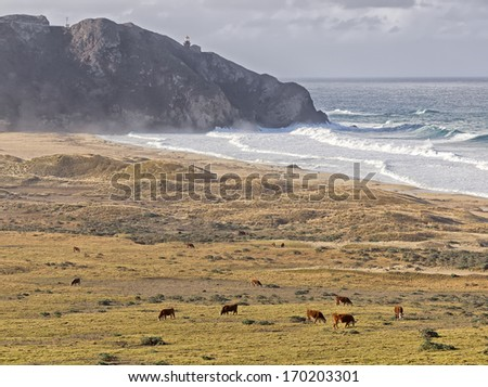 cows grazing in the rolling fields near point sur lighthouse,big sur coast,central california,december 2013. - stock photo