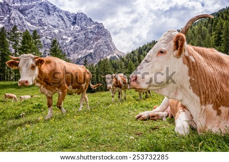 Cows grazing on a alpine meadow - stock photo