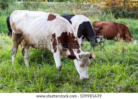 Cows grazing on a grass field - stock photo