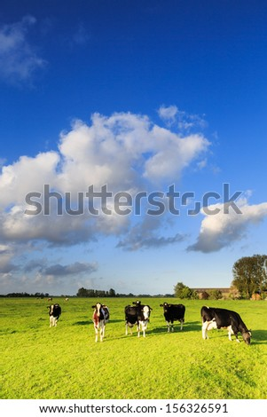 Cows grazing on a grassland in a typical dutch landscape on a sunny day