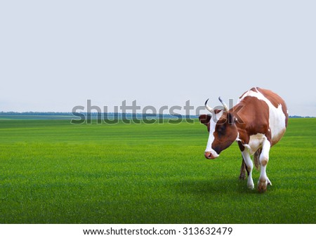 Cows grazing on a green field. - stock photo