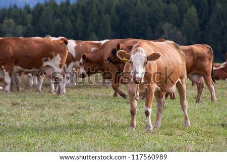 Cows grazing on a green field, Czech Republic - stock photo