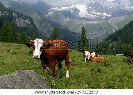 Cows grazing on a green pasture - stock photo