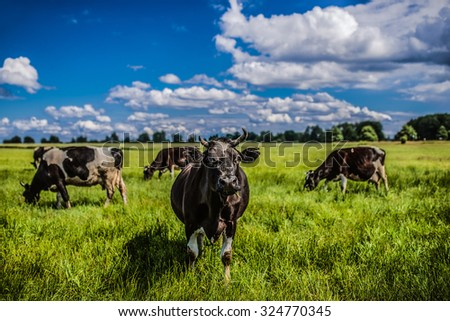 Cows grazing on a green pasture bolom in the foothills of Slovakia. - stock photo