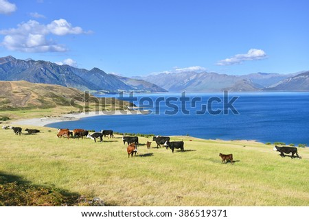 Cows grazing on a green pasture by the lake Hawea, New Zealand - stock photo