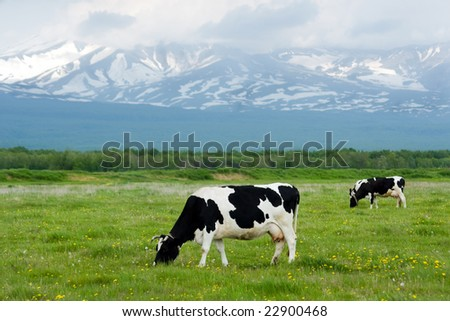 cows grazing on a green pasture near mountains - stock photo