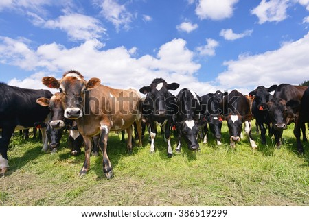 Cows grazing on a green pasture, New Zealand - stock photo