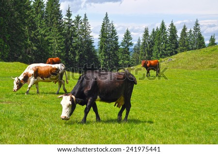 Cows grazing on a green summer meadow at sunny day  - stock photo