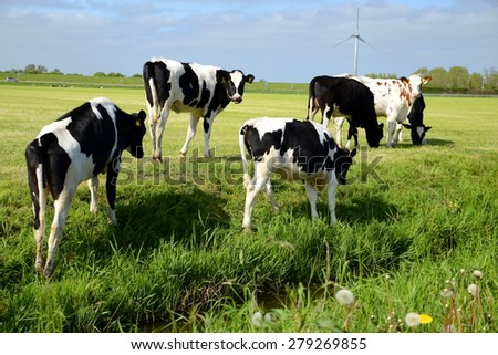 Cows grazing on a meadow - stock photo