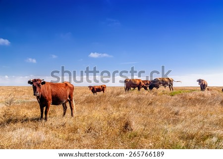 Cows grazing on a yellow summer meadow at sunny day in Ukraine. - stock photo