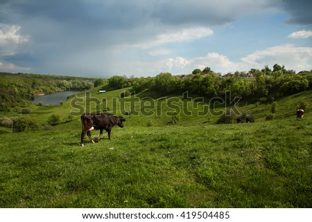 Cows grazing on beautiful green hills. on the clouds in the sky before the rain - stock photo