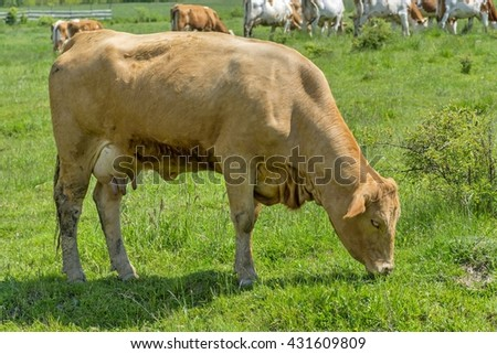 Cows grazing on green meadow - stock photo