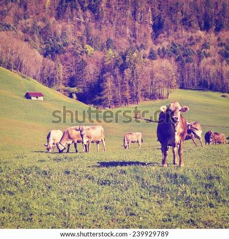Cows Grazing on Green Pasture in Switzerland, Instagram Effect - stock photo