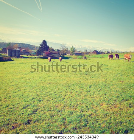 Cows Grazing on Green Pasture in Switzerland on the Background of Snow-capped Alps, Instagram Effect - stock photo