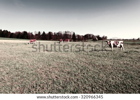 Cows Grazing on Green Pasture in Switzerland, Vintage Style Toned Picture - stock photo