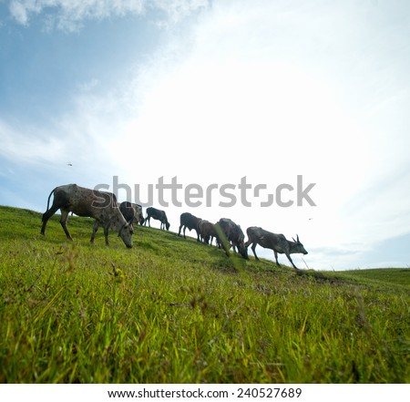 Cows grazing on lush grass field  - stock photo
