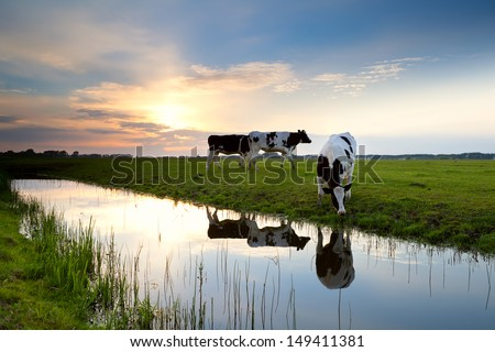 cows grazing on pasture at sunset by river - stock photo
