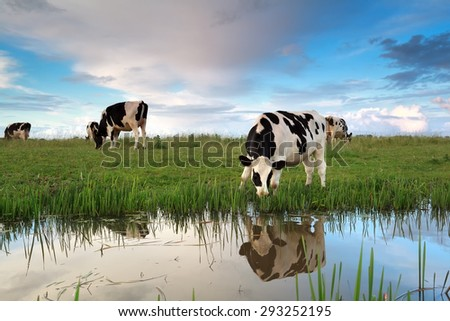 cows grazing on pasture by river at sunset - stock photo