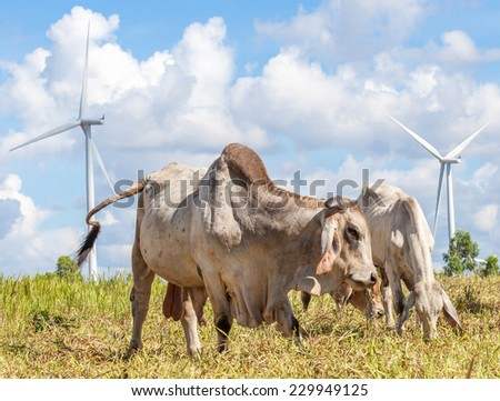 Cows grazing on pasture next to windmill farm with cloudy blue sky background, near wind electricity plant in Korat province Thailand.  - stock photo