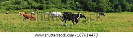 cows grazing on the field panoram - stock photo