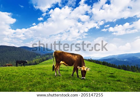 Cows grazing on the mountain meadow in Carpathian - stock photo