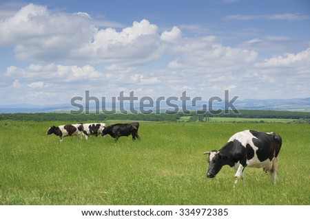 Cows grazing the fresh green grass in springtime. - stock photo
