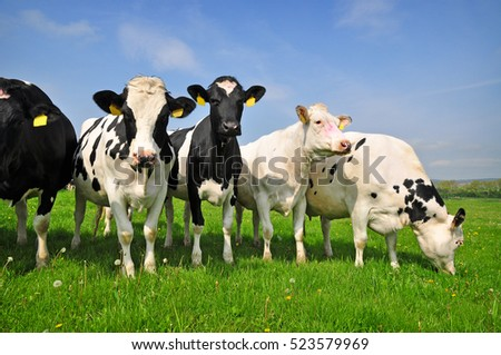 Cows herd grazing on grass agriculture
