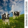 Cows in a beautiful dandelion covered field. - stock photo
