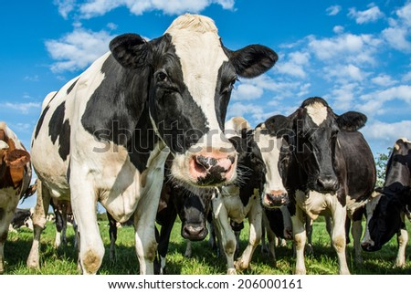 Cows in a field with a  blue sky - stock photo