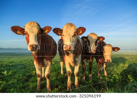 Cows in a foggy meadow during an autumn sunrise, Holland. - stock photo