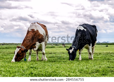 Cows in a fresh grassy field - stock photo