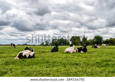 Cows in a fresh grassy field