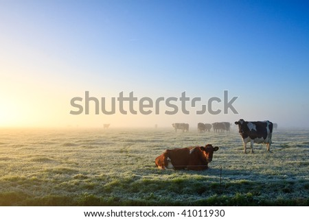 Cows in a grassland at an early winter morning - stock photo